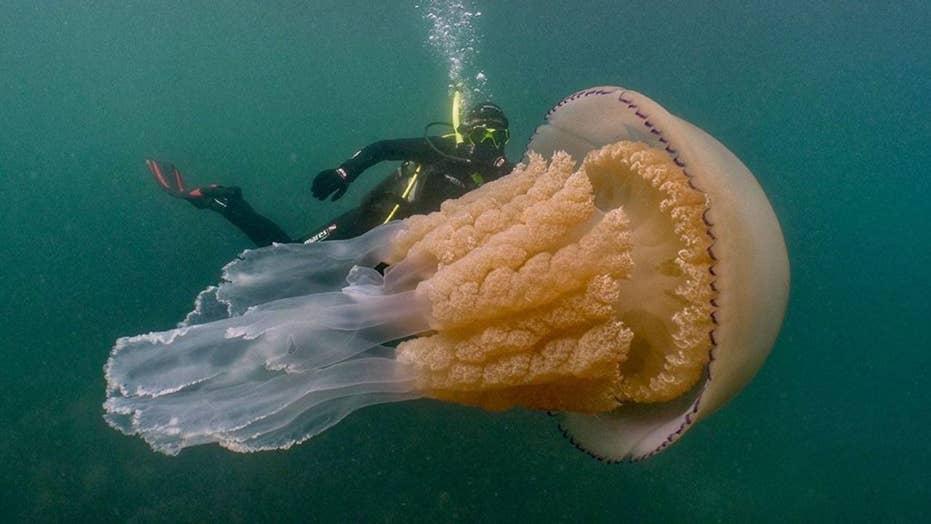 Human-sized jellyfish lurking off English coast stuns divers