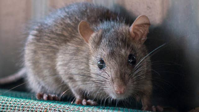 California cities overrun by rat infestations according to new study