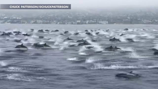 Huge pod of dolphins swims alongside boat off the coast of California