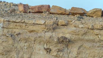 Spot the mountain goats: Cool photo captures camouflaged Ibex herd in Israel's Negev desert