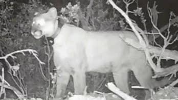Utah bear steals and eats cougar's kill, video shows