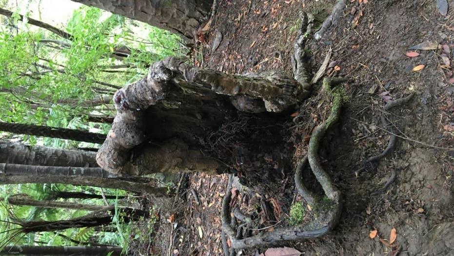 Strange 'superorganism' is keeping a 'vampire' tree alive