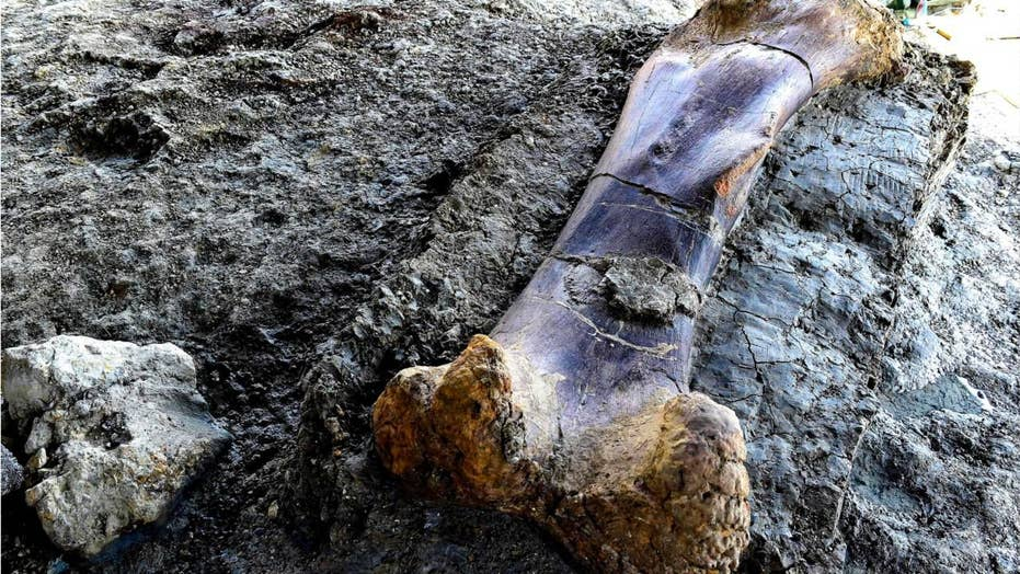 Massive 1,100-pound bone of 'world's biggest dinosaur' found