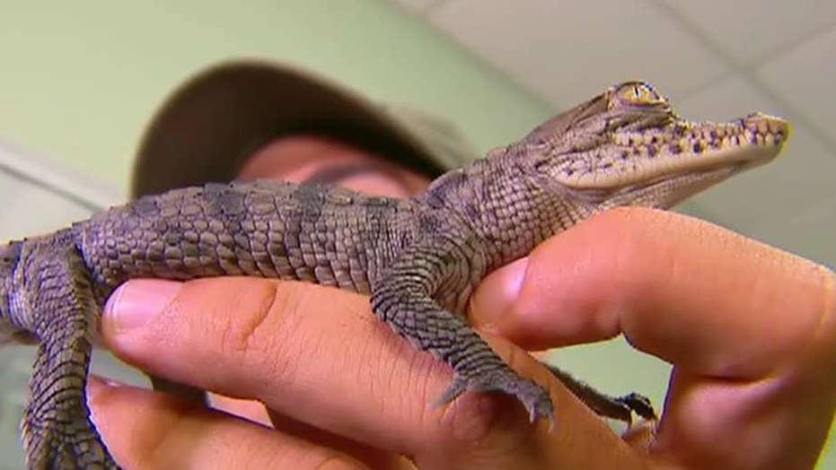 Crocodiles thrive outside Florida nuclear plant