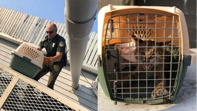 Burger King calls police for help with bobcat trapped on roof