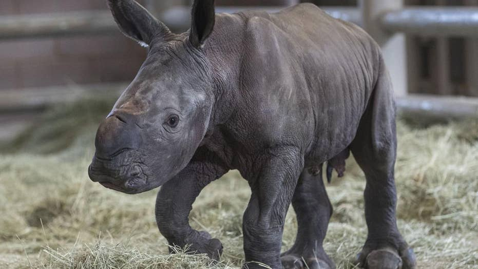 Rhino saved? Southern white rhino gives birth aided by artificial insemination