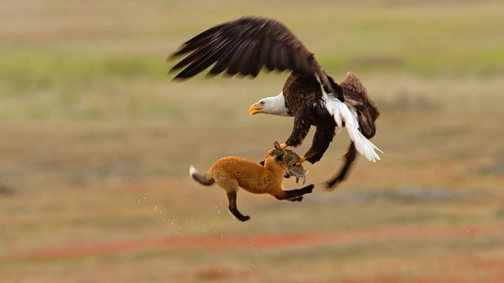 Bald eagle fights fox for a rabbit