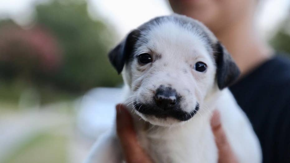 Mustachioed puppy goes viral, named for resemblance to Salvador Dali