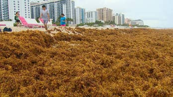 Slimy, stinky seaweed invades South Florida beaches