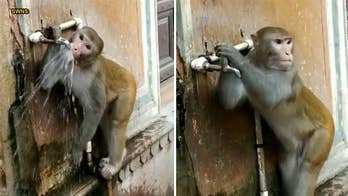 Environmentally-friendly monkey drinks from tap and turns it off in viral video