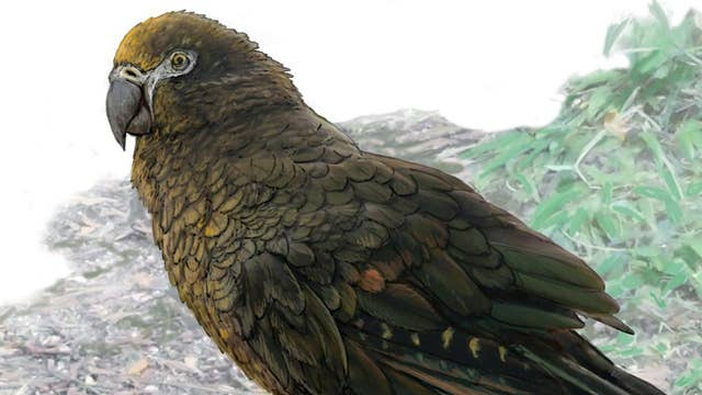 Fossils of 'Squawkzilla,' 19 million-year-old cannibal parrot, found in New Zealand