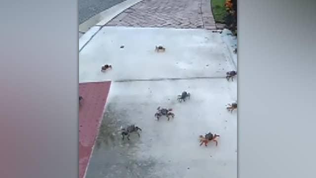 Hundreds of land crabs seen crawling around Florida neighborhood
