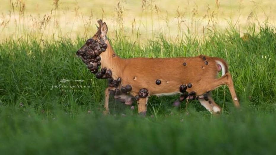 Minnesota wildlife officials contacted after deer covered in tumors caught on camera
