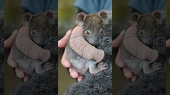 Adorable orphaned baby koala gets arm cast after falling from tree