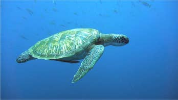 Green turtles are dying because they're eating plastic that looks like food