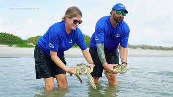 Rescued sea turtles returned to the ocean on Florida beach