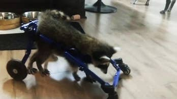 Vittles the baby raccoon is walking again with the aid of a wheelchair