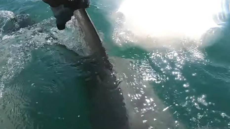 Huge hammerhead shark grabs fish from captain's hands
