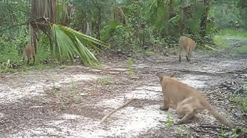 Officials share video of Florida panthers with disability
