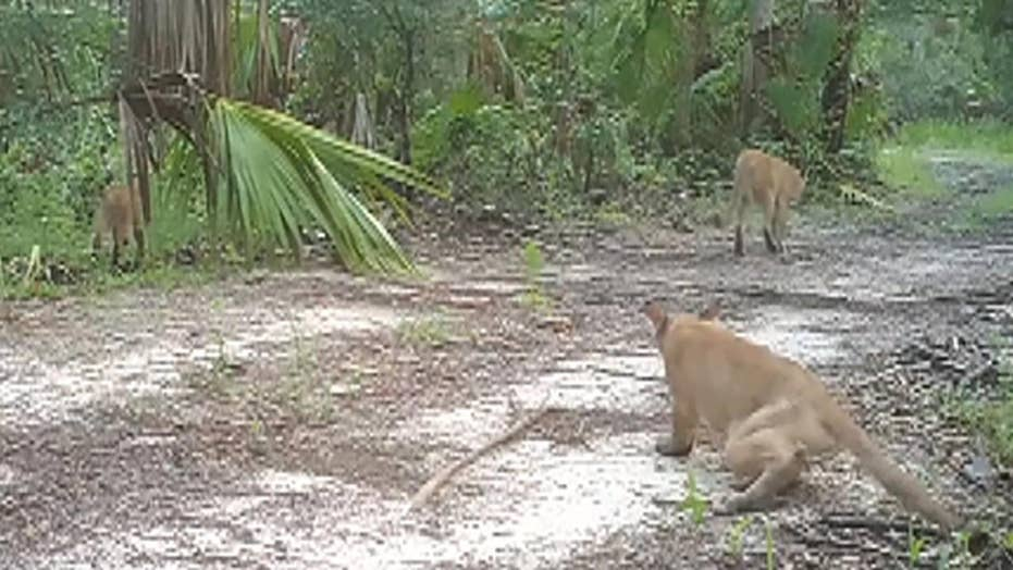Wildlife officials share video of Florida panthers with disability