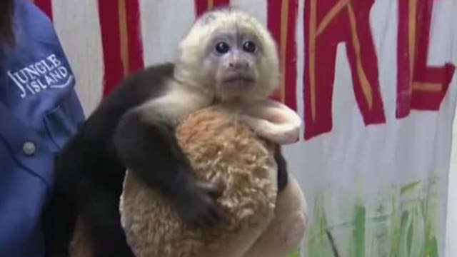 Scientists in China attempt to make a human-monkey hybrid