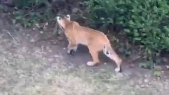 Bobcat family spotted near Utah neighborhood