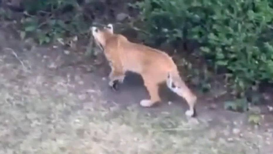 Bobcat family spotted near Utah neighborhood