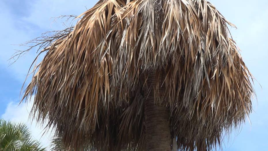 Tens of thousands of palm trees dying from bacterial disease