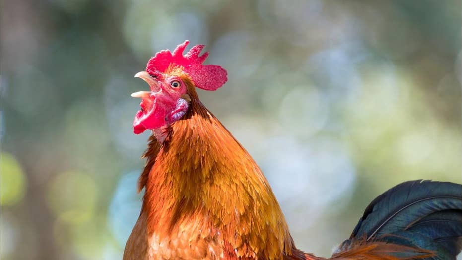 Report: Rooster pecked woman to death in 'freak' attack