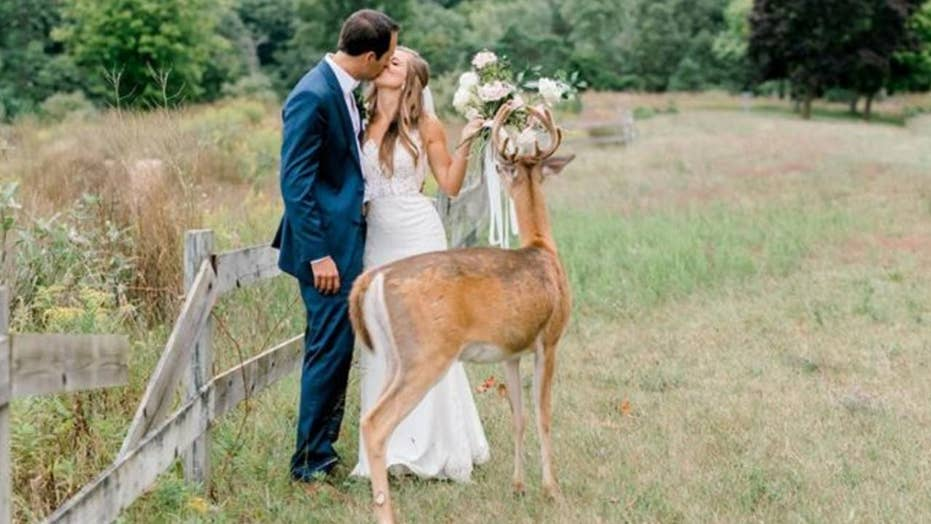 Wild deer becomes a wedding crasher and photo-bomber all at once