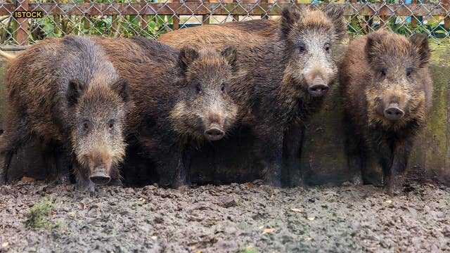 Feral pigs bound for US from Canada pose potential for 'widespread damage'