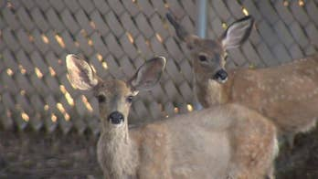 Fawns stuck in fences is ongoing issue in Sacramento County, California