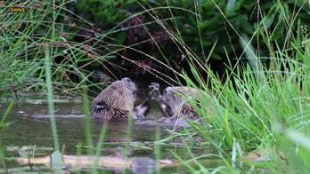 Beavers wrestling in Scottish river captured on camera
