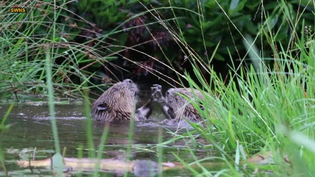 Beavers wrestling in Scottish river captured on camera