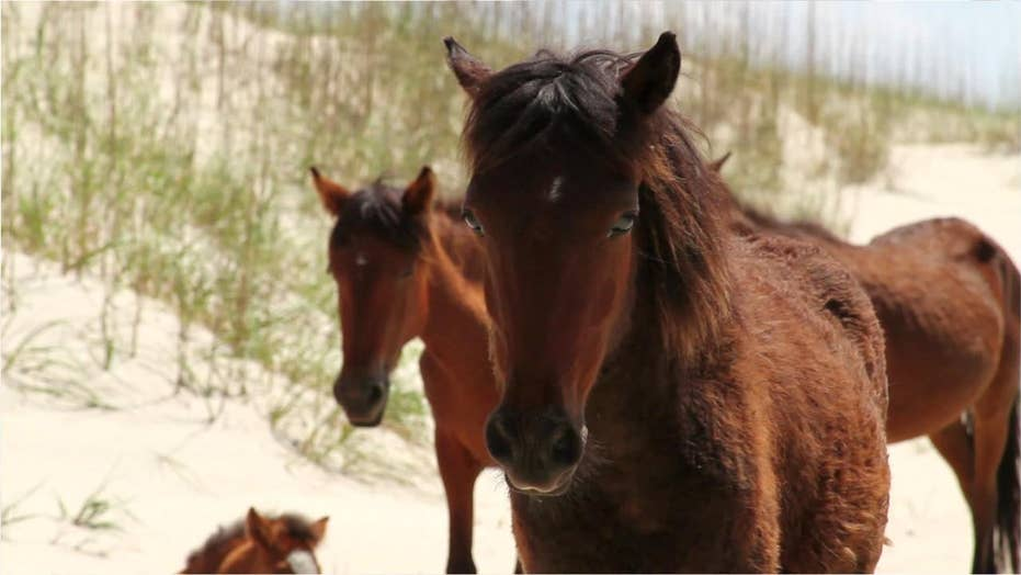 28 wild horses killed in Hurricane Dorian 'mini tsunami' off North Carolina coast