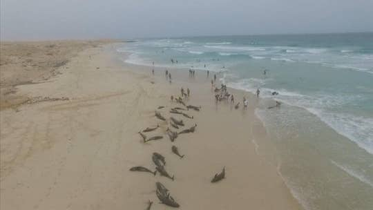 More than 130 dolphins die on island beach off West Africa in mysterious mass stranding