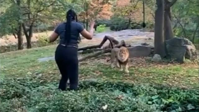 Raw video: Woman appears to taunt lion after climbing into Bronx Zoo enclosure