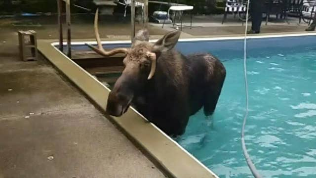 Raw video: Moose who became trapped in a New Hampshire swimming pool is rescued by the state Fish and Game Service