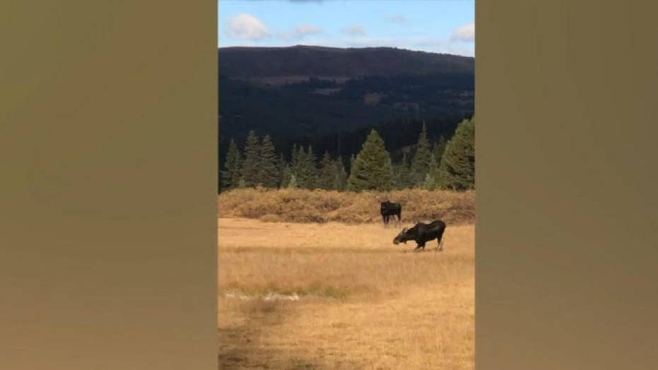 Colorado woman unharmed after 2 moose charge at her