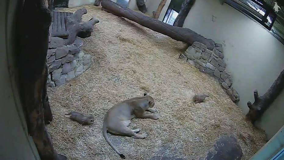 Lion cub scares its mother.