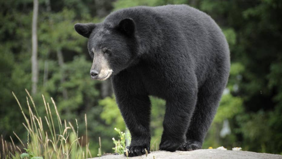 Tourists caught getting too close to a black bear in Tennessee