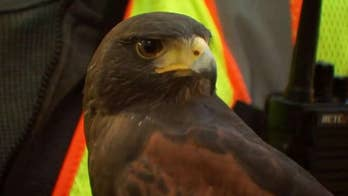 Authorities use trained hawks scare nuisance crows from downtown Portland