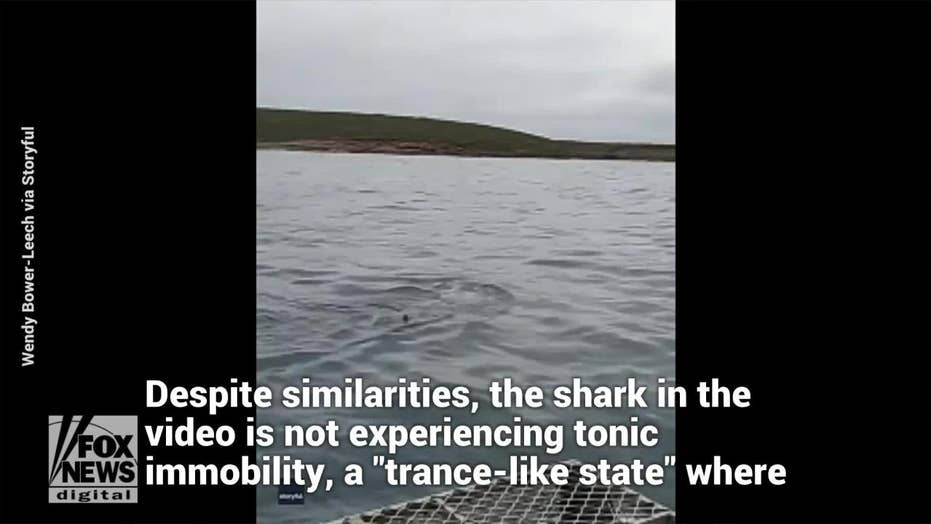 SEE IT: A great white shark caught swimming on its back in a rare event
