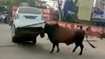 Video captures raging bull attacking car, lifting it into the air