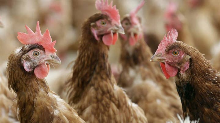 Florida woman sues county in federal court in effort to keep emotional support chickens