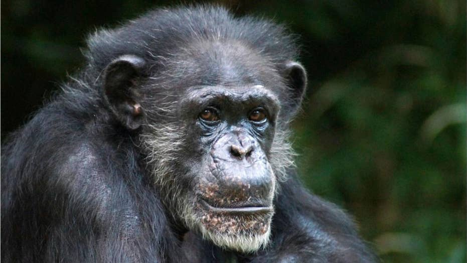 Chimpanzee violent attacks are on the rise
