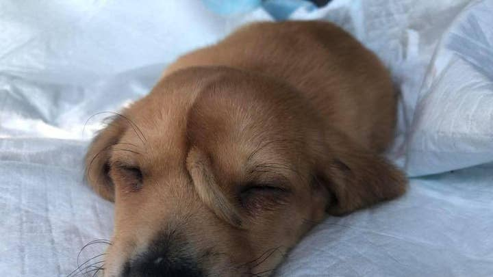 Animal rescue team finds puppy with tail on his forehead