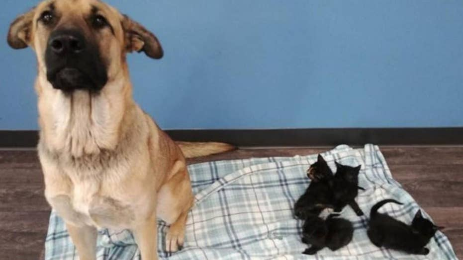 Stray dog comforts abandoned kittens on side of road