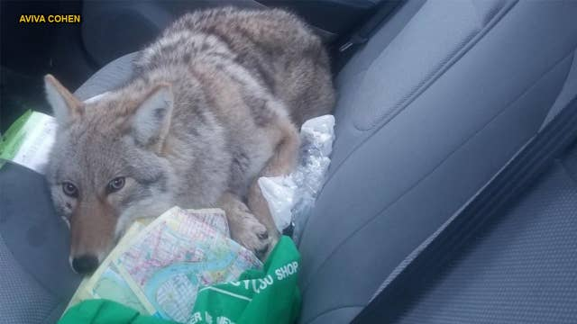 Man strikes 'dog' on Canadian highway, later discovers it's a wild coyote