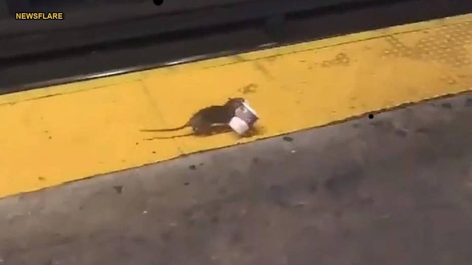 Rat carrying coffee cup on New York City subway track goes viral